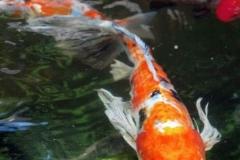 fish-koi-pond-ny